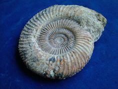 fossil ammonite Parkinsonia