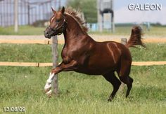 Galeon - 1 year - reserve champion stallion of up to 4 years of the Russian National Championship show Arabian horses