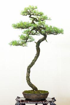 Bonsai im Topf Chinesischer Wacholder H 33 cm