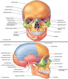 Medical and Well being Science: Anatomy of Cranium Anatomy Head, Skin Anatomy, Anatomy Bones, Facial Anatomy, Anatomy Study, Nursing Tips, Nursing Notes, Medical Coding, Medical Science