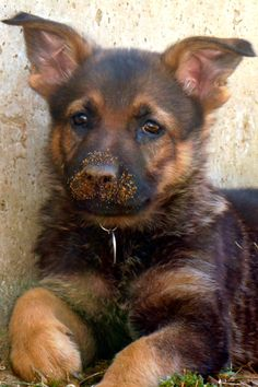 Looks like someone's been up to no good! Sierra, our German Shepherd puppy