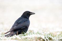 Corvus corone Krähe Rabe  Rabenkrähe Vogel
