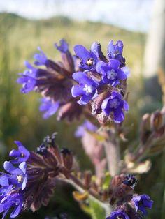 Ossentong (Anchusa azurea / capensis / officinalis): neutrale poederige smaak, mooi in salades door de blauwe bloempjes