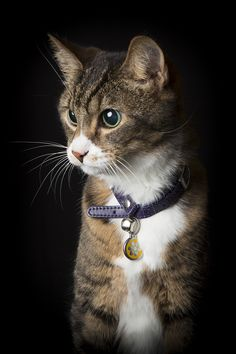 Tabby Cat photographed at Freedom Photography Studio - Willagee Western Australia