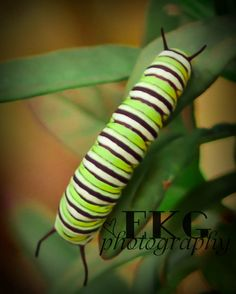 if caterpillers were this beautiful in this country!
