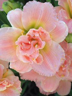 ~~ Hemerocallis siloam Double Classic ~  Daylily, Spider Lily ~~