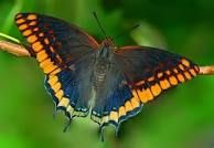 Exotic caterpillars and the butterflies they turn into