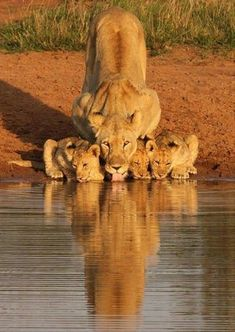 Lioness and cubs / - animals - big cats - nature - Earth - Wildlife Animals And Pets, Baby Animals, Funny Animals, Cute Animals, Animals With Their Babies, Animals In The Wild, Animal Babies, Strange Animals, Unique Animals