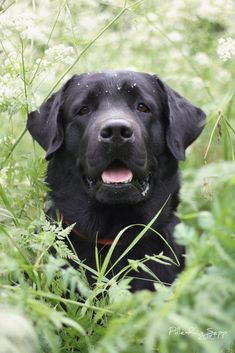 Mind Blowing Facts About Labrador Retrievers And Ideas. Amazing Facts About Labrador Retrievers And Ideas. Labrador Retriever Negro, Schwarzer Labrador Retriever, Labrador Puppies, Labrador Retriever Dog, Corgi Puppies, Black Lab Puppies, Dogs And Puppies, Doggies, Cute Dogs