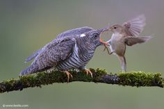 notbythehaironmychinnychinchins:  blurds:avianeurope:  Common Cuckoo (Cuculus canorus) »by Kee Liu  I'm seeing some confusion about this one in the reblogs, and it is for my money one of the most interesting things to know about birds, so: The big guy in this picture is the cuckoo - a young cuckoo. The little one is the momma bird, who is feeding the baby, even though the baby is now like five times as big as she is. That's because the cuckoo is a brood parasite. Cuckoos lay their eggs in…