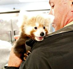 Red Panda Twins Double the Fun at Lincoln Children's Zoo
