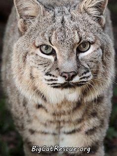 Apache Bobcat