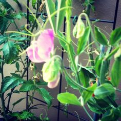 My first ever Sweet Pea !!! Heavenly :-)