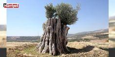 Mucize! 800 yıllık ağaç...: Mersin merkez Toroslar Belediyesince 20 ay önce bir hızarcıdan odun olarak kesilmek üzereyken alınan ve yeniden toprakla buluşturulan 800 yıllık olduğu tahmin edilen zeytin ağacı meyve verdi.