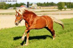 Finnhorse stallion Tosi-Romeo