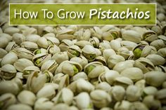 Urban Gardening How To Grow Pistachios - from seed in your garden. Pistachio Nut Tree, Growing Vegetables, Fruits And Veggies, Gardening For Beginners, Gardening Tips, Container Gardening, Garden Items, Garden Tools, Agriculture