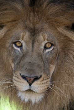 Lion king by Official San Diego Zoo, via Flickr