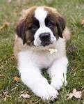st bernard puppies - Bing Images