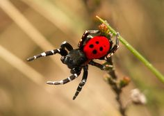 The Ladybird spider is a brightly colored spider that almost became extinct in the UK. Today, thanks to a conservation program, the spider's population is rebounding.