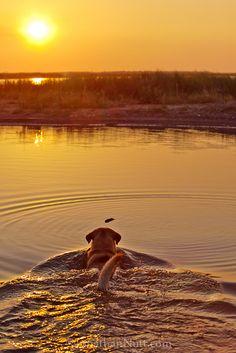 A yellow Labrador retriever swims out to retrieve a stick in a south Louisiana marsh near the Gulf Coast