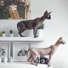 819 vind-ik-leuks, 22 reacties - Odessa & Azizi▫️Sphynx cats (@odessaandazizi) op Instagram: 'The Birdwachters. '