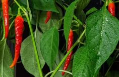 Iedereen die ooit hete pepers heeft gegeten, zal het beamen dat ze veel pijn kunnen veroorzaken. Pepers zijn er in vele vormen, kleuren, maten en sterktes, maar één ding hebben ze allemaal