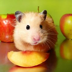 Health and Nutrition for Small Pets: Hamster and Gerbil - Small Pets Pet Care Corner - PetSolutions