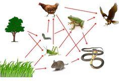 Ekosistem (4) : Rantai Makanan dan Jaring-Jaring Makanan | Kelas 7