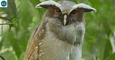 https://www.facebook.com/WonderBirdSpecies/ Crested owl (Lophostrix cristata); Central America and northern South America; IUCN Red List of Threatened Species 3.1 : Least Concern (LC)(Loài ít quan tâm) || Chim Cú mào; Họ Cú mèo-Strigidae (Typical Owl); Trung Mỹ và bắc Nam Mỹ.