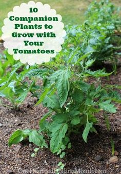 10 Companion Plants to Grow with Your Tomatoes: