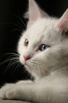 Bi-color eyes   white cat