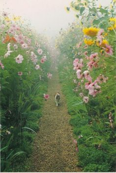 Monet's Gardens at Giverny  Pink cosmos and golden sunflowers tower above Fifi, the calico cat who resides in Monet's garden, as she strolls down a gravel path in the silver mist of dawn. Photograph by Elizabeth Murray c 1990