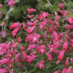 Penstemon 'Carillo red'