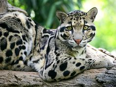 Neofelis nebulosa The Clouded Leopard is a curious feline, stuck somewhere size-wise between the big and small cats. They look a lot lik. Beautiful Cats, Animals Beautiful, Cute Animals, Wild Animals, Majestic Animals, Big Cats, Cats And Kittens, Chat Lion, Regard Animal