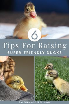 """The ONE single question I get most often about raising ducks (even more often than """"what should I feed them?""""), is this: """"How can I raise my ducklings to be friendly, and enjoy being with me?"""" In this post, you'll find my best tips for how to raise friendly ducks, that stay sweet and companionable, even when they're grown. Ducks are often considered a bit flightly and not very chummy, but that doesn't have to be the case. Implement a few simple practices, and you'll have sweet, friendly ducks. Backyard Ducks, Chickens Backyard, Backyard Ideas, Raising Quail, Raising Ducks, Duck Farming, Livestock Farming, Duck Eggs, Duck Duck"""