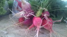rabanetes orgânicos frescos!