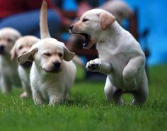 Estimular al Labrador Retriever | Perros Labradores