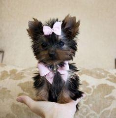 Tiny Teacup Yorkie Princess  Price: $2,800.00
