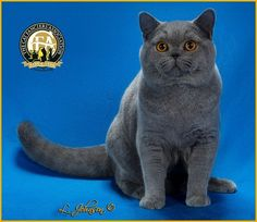 GC, NW Kitties Land Blue Silk, Blue Male British Shorthair - 6th Best Kitten in China