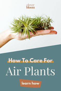 Air Plants (scientifically named Tillandsia), are low maintenance plants that add a botanical whimsy to any area of your home. They require very little care and need minimal attention. Air plants are perfect for small spaces, people who travel, and homes with children. In just a few easy steps, you will learn, how to care for air plants (Tillandsia). Air Plants Care, Plant Care, Low Maintenance Plants, House Plants, Bloom, Herbs, Small Spaces, Minimal, Children