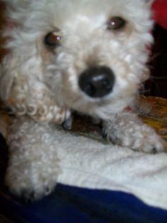 Poodle pretty eyes