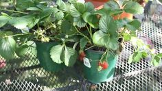 Video: How to Fertilize Everbearing Strawberries