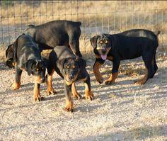 www.elitek-9.com Rottweilers, Luxury Life, Puppies, Dogs, Animals, Instagram, Luxury Living, Cubs, Animales