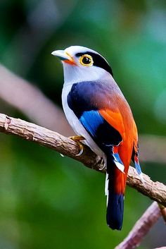 Beautiful birds. Love the colors for my mosaic work. Silver-breasted Broadbill - ©Allan Seah (via 500px)