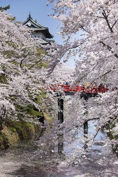 Hirosaki Castle and Cherry Blossom, Aomori, Japan