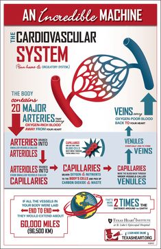 Fun facts about the cardiovascular system, an incredible machine in the human body.