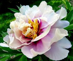 Cedarmere in the Blue Ridge: Peonies in Love . . .