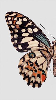 Butterfly Drawing, Butterfly Wallpaper, Blue Butterfly, Butterfly Wings, Butterfly Painting, Butterfly Background, Butterfly Illustration, Vintage Butterfly, Butterfly Design
