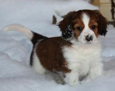 the kooikerhondje!  They are only $2,500 and there is only a 2+year waitlist....