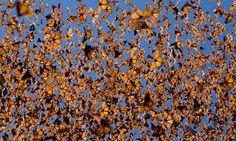 Boana ou Panapaná = Bando de borboletas, que migram em certas épocas, formando verdadeiras nuvens.